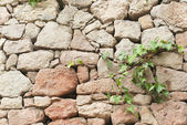 Ivy on the old stone wall background — Stock Photo
