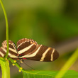 Zebra Longwing Butterfly on the leaf — Stock Photo