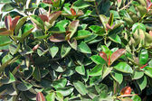 Ficus elastica — Stock Photo