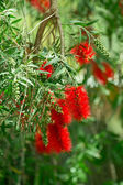 Red bottlebrush flowers. Callistemon — Stock Photo