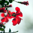 Hibiscus flower — Stock Photo #10810926