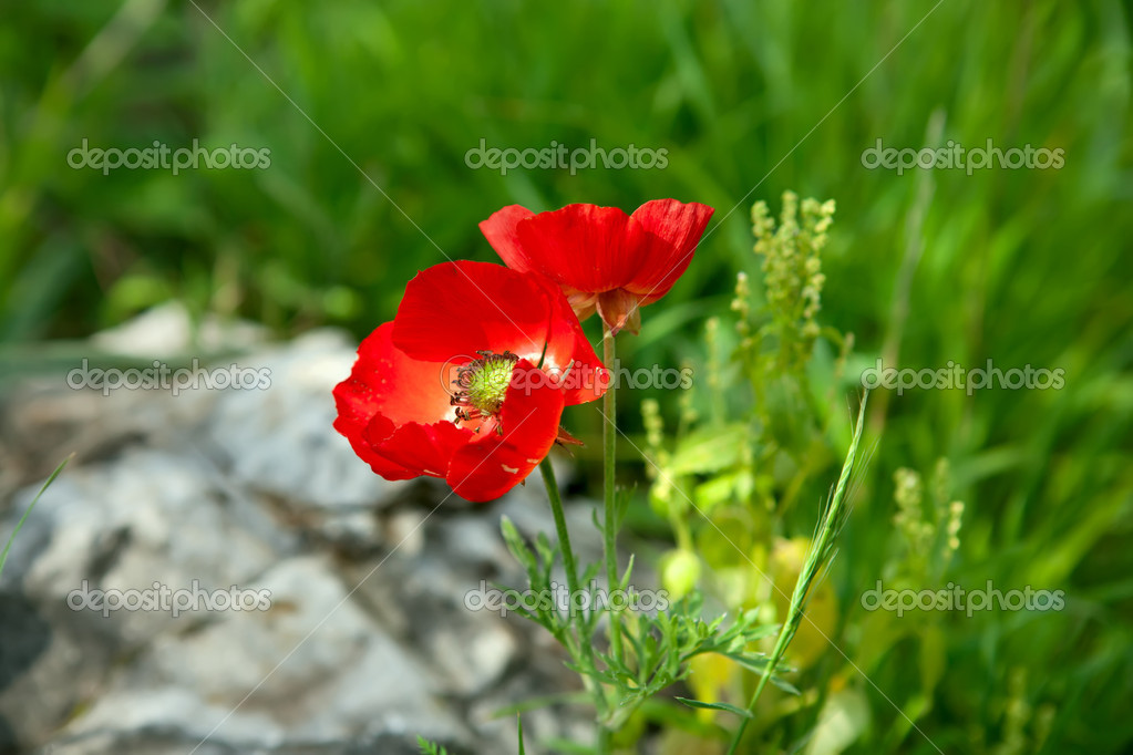Wild Anemone flowers in spring field — Stock Photo #10812008