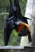 Fruit bat - flying-fox — Stock Photo