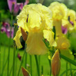 Yellow irises — Foto Stock