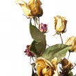 Stock Photo: Wilted roses