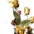 Wilted roses - Stock Photo