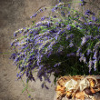 Lavender — Stock Photo #11199006