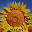 Sunflower — Stock Photo #11529188