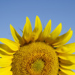 Sunflower — Stock Photo #11529198