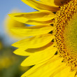 Sunflower — Stock Photo #11529202