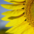 Sunflower — Stock Photo #11529205