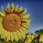 Sunflower — Stock Photo #11529210