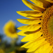 Sunflower — Stockfoto #11529212