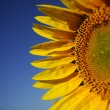 Sunflower — Stockfoto #11877969