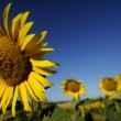 Sunflower — Stock Photo #11878045