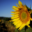 Sunflower — Stock Photo #11878049