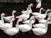 Pinky Ducks — Stock Photo
