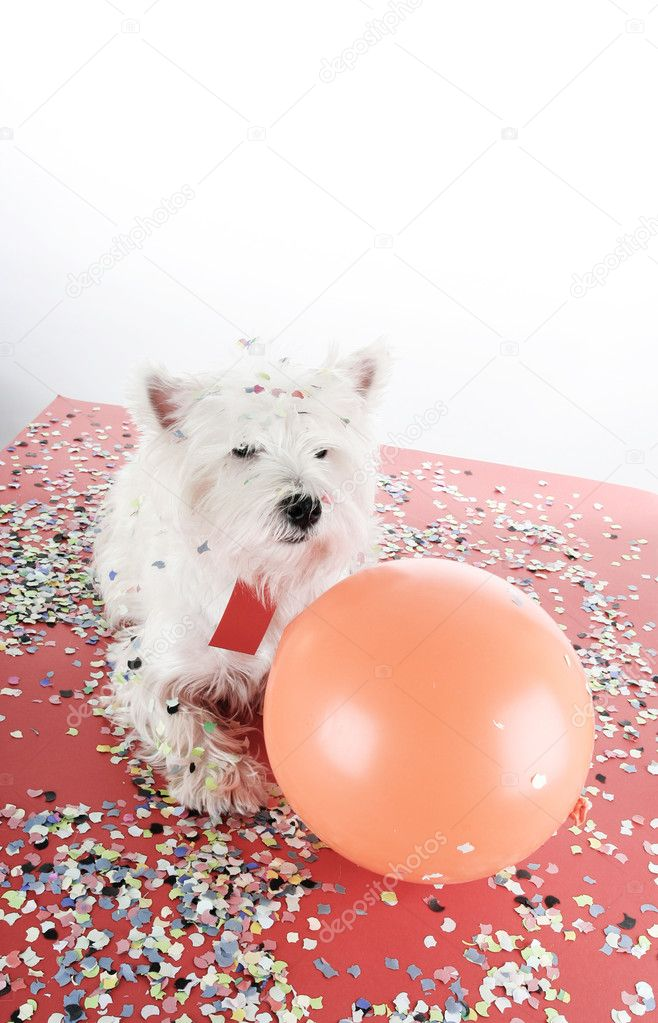 West highland white terrier with confetti and ballon. — Stock Photo #11014961