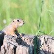 European ground squirrel - Stok fotoğraf