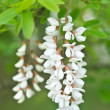 Robinia pseudoacacia — Stock Photo