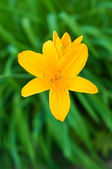 Daylily — Stock Photo
