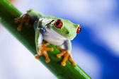 Frog, small animal red eyed — Stock Photo