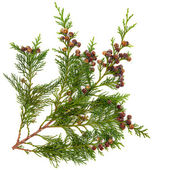 Cedar Leaves — Stockfoto