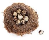 перепелиные яйца — Стоковое фото
