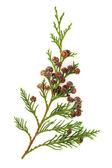 ヒマラヤ スギの葉 — ストック写真