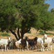 ������, ������: Goats on a mountain m