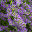 Stock Photo: Flowers of lavender