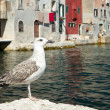 Seagull — Stock Photo #11921526