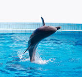 Dolphin jumping — Stock Photo