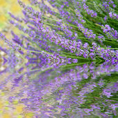 Flowers of lavender — Stock Photo