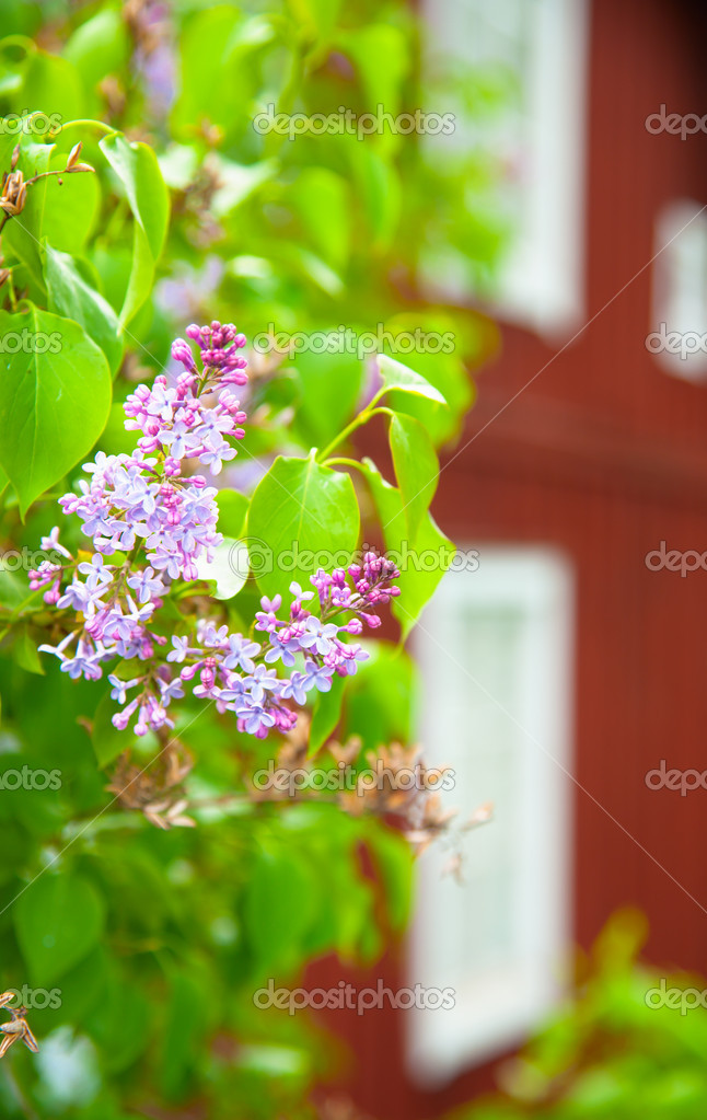 Blossoming Lilac in the spring. In the background, a typical red wooden house, already outside the depth of field — Stock Photo #10831777