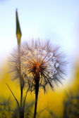 Dandelion Detail — Stock Photo