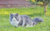Ragdoll cat — Stock Photo