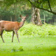 Red deer — Stock Photo #11037095
