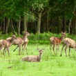 Deer herd — Stock Photo