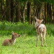 Red deer fawns - Stock Photo