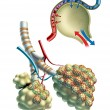 Pulmonar alveoli - Stock Photo