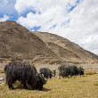 Tibetan landscape with grazing sheep and goats — Stock Photo