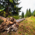 Tree stump uprooted — Stock Photo