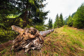 Tree stump uprooted — Stock Photo