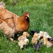 Chicken with babies - Stok fotoğraf