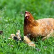 Chicken with babies - Stock Photo