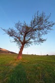 Hornbeam tree at sunset — Stock Photo