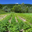 Stock Photo: Potatoes field near forest