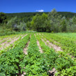Potatoes field near forest — Stock Photo
