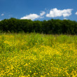 Small celandine field (Ficaria Ranunculoides) - Stock Photo